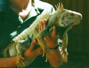 compra iguana