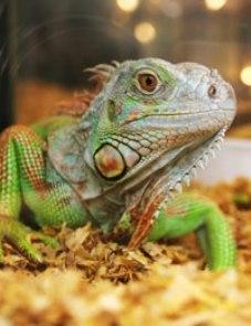 enfermedades reptiles