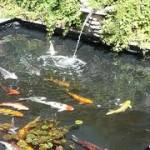 Mascotapedia mascotas enciclopedia ilustrada for Filtros de agua para estanques de peces