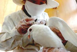 foto gripe aviar