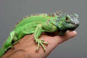 iguanas como mascota