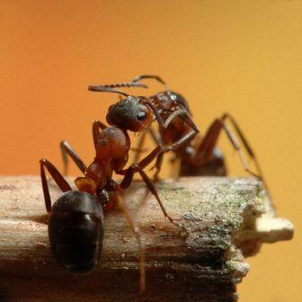 hormigas mascotas