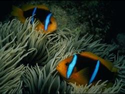 pez anemona