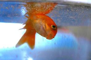 pez muerto