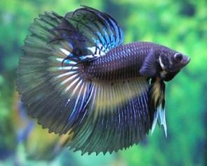pez peleador