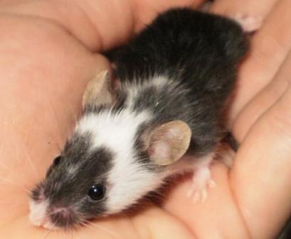 raton mascota