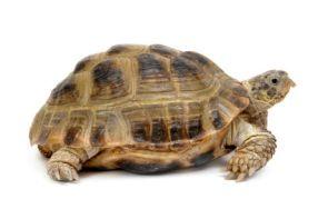 tortuga acuatica
